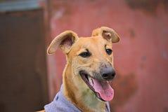 Glückliche Windhunde auf einem Feld in Argentinien Stockbild