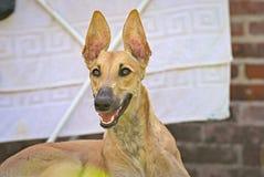 Glückliche Windhunde auf einem Feld in Argentinien Lizenzfreies Stockbild