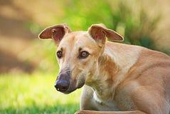 Glückliche Windhunde auf einem Feld in Argentinien Lizenzfreies Stockfoto