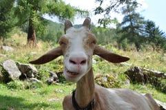 Glückliche Ziege Stockfoto