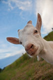 Glückliche Ziege lizenzfreie stockfotografie