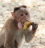 Glücklicher Affe essen Banane Stockfotografie