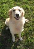 Glücklicher Apportierhund Lizenzfreie Stockbilder
