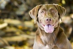 Glücklicher Apportierhund Brown-Labrador Lizenzfreies Stockfoto