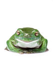 Glücklicher australischer grüner Baum-Frosch lokalisiert auf Weiß stockbild