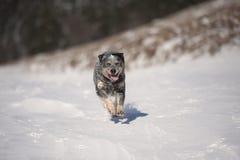Glücklicher australischer Vieh-Hund ACD Stockfotos