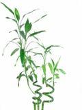 Glücklicher Bambus Lizenzfreie Stockfotos