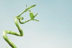 Glücklicher Bambus Lizenzfreies Stockbild