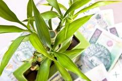 Glücklicher Bambus auf Hintergrund des Geldes. Lizenzfreie Stockbilder