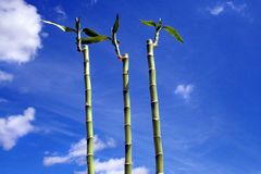 Glücklicher Bambus unter einem blauen Himmel stockfotos