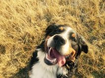 Glücklicher Bernese Gebirgshund lizenzfreies stockfoto