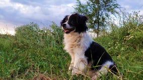 Glücklicher border collie-Hund gesetzt auf dem Gras mitten in der Natur, die um das Genießen der Ruhe eines sonnigen Tages schaut stock video