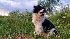 Glücklicher border collie-Hund gesetzt auf dem Gras mitten in der Natur, die um das Genießen der Ruhe eines sonnigen Tages schaut stock video footage