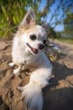 Glücklicher Chihuahuahund auf Solarsommerlandschaft Stockfotos