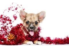 Glücklicher Chihuahuawelpe im Feld des glänzenden Filterstreifens Stockfotos