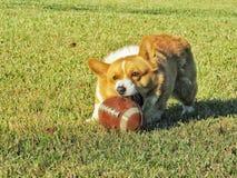 Glücklicher Corgihund, der mit Ball spielt lizenzfreie stockfotografie