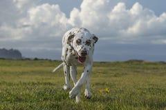 Glücklicher dalmatinischer Hund, der in einen Park läuft Lizenzfreie Stockfotografie