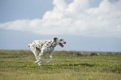 Glücklicher dalmatinischer Hund, der in einen Park läuft Stockfoto