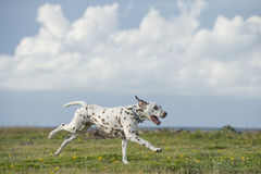 Glücklicher dalmatinischer Hund, der in einen Park läuft Stockfotografie