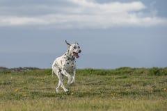 Glücklicher dalmatinischer Hund, der in einen Park läuft Stockfotos