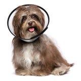 Glücklicher dankbarer havanese Hund ist, tragend wieder herstellend und einen Trichter c Stockfoto