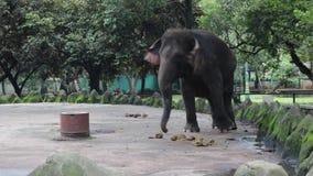 Glücklicher entzückender Indonesien-Elefant im Verbundkäfig stock footage
