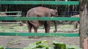 Glücklicher entzückender Indonesien-Elefant im Verbundkäfig stock video