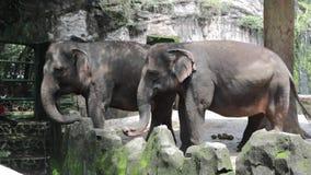 Glücklicher entzückender Indonesien-Elefant im Verbundkäfig stock video footage