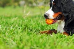 Glücklicher Familienhundberner sennenhund, der auf dem Gras in liegt Stockbilder