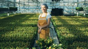 Glücklicher Florist steht in einem Gewächshaus voll von gelben Tulpen stock video