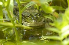 Glücklicher Frosch Stockfoto