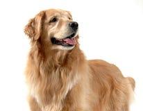 Glücklicher goldener Apportierhund stockbild