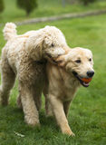 Glücklicher goldener Retreiver-Hund mit dem Pudel, der Reichweite spielt, verfolgt Haustiere Stockfotografie
