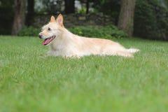 Glücklicher Hund auf Rasen Stockbild