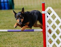 Glücklicher Hund, der über einen Beweglichkeitssprung hinausgeht Stockfotos