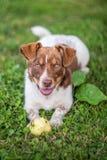 Glücklicher Hund, der Apfel isst Stockfotos