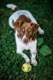 Glücklicher Hund, der Apfel isst Stockbild