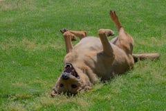 Glücklicher Hund, der auf dem Gras liegt Stockfoto