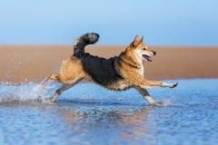 Glücklicher Hund, der auf dem Strand läuft Lizenzfreie Stockfotos