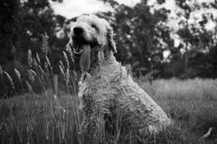 Glücklicher Hund, der auf der Wiese lächelt lizenzfreie stockbilder