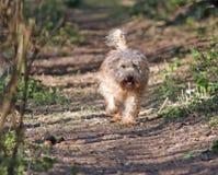 Glücklicher Hund, der durch das Holz läuft. Stockfotografie