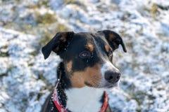 Glücklicher Hund, der in frischen Schnee läuft stockfotografie