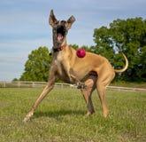 Glücklicher Hund, der Kugel spielt Lizenzfreie Stockbilder
