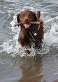Glücklicher Hund, der Reichweite spielt Stockbild