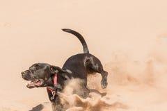 Glücklicher Hund, der in Sand läuft Stockfotografie
