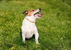 Glücklicher Hund, der sicher auf dem grünen Gras trägt Antifloh- und Zeckenkragen während der Frühlings-Saison spielt lizenzfreie stockbilder