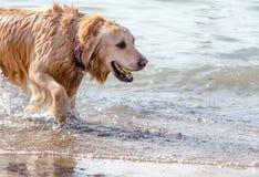 Glücklicher Hund an einem Michigan-Hundestrand Lizenzfreie Stockfotografie