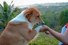Glücklicher Hund mit der Zunge heraus und Hauptneigung, verfolgen glückliche und Hundehand Stockfotografie