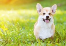 Glücklicher Hund-Waliser-Corgi Pembroke auf dem Gras im Sommer Stockfotografie