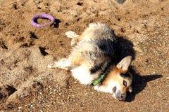Glücklicher Hund-Waliser-Corgi Pembroke, der auf dem Strand ein Sonnenbad nimmt Stockfotografie